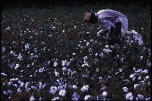 Color photo of a woman picking cotton
